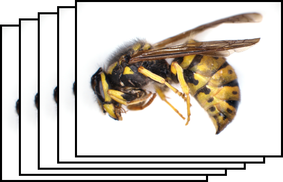 Capturing of the wasp by Deep Focus module of QuickPHOTO
