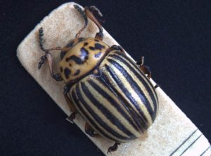Colorado potato beetle composed by Deep Focus