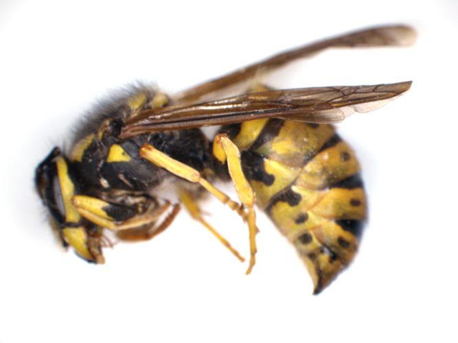 Deep Focus wasp - slice 1