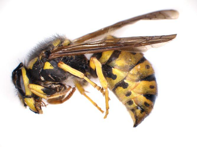 Deep Focus wasp - slice 3