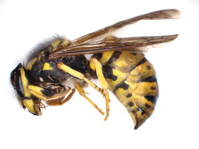 Deep Focus wasp - slice 4