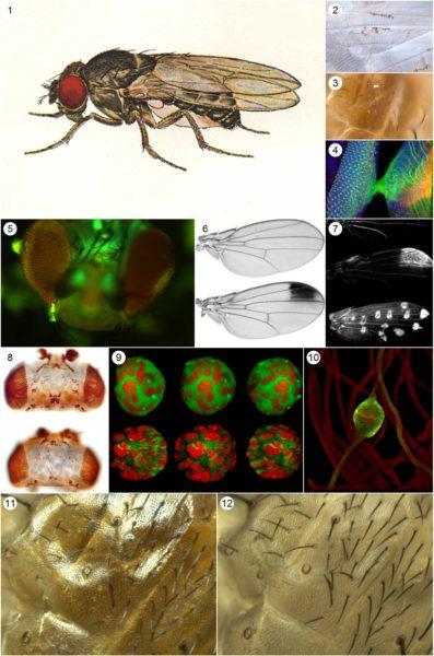 Figure Maker - drosophila made by Rob Meyer (www.meyerinst.com)