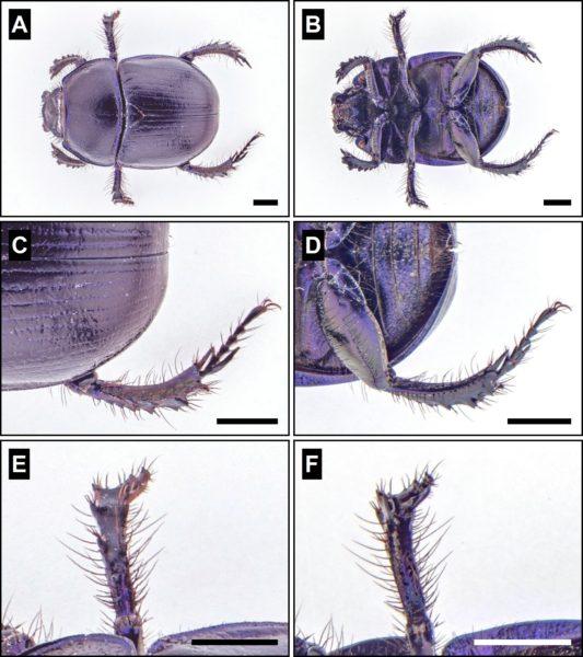 Figure Maker - dung beetle