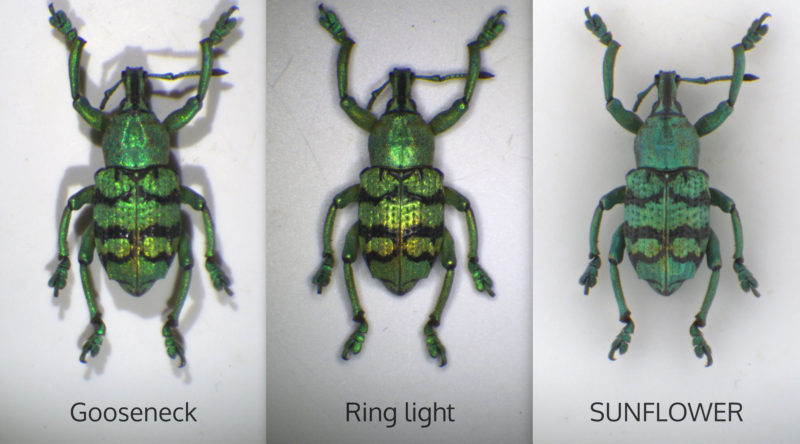 green weavil illuminated by various illuminators