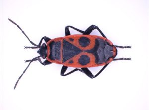 Heteroptera composed by Deep Focus