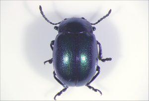 Beetle illuminated by gooseneck illuminator