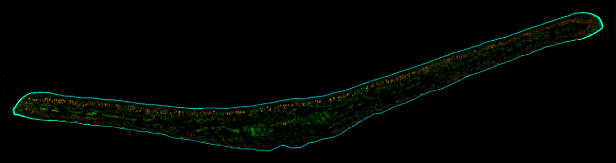 Podocarpus elatus leaf in fluorescence captured by Image Stitching module for QuickPHOTO