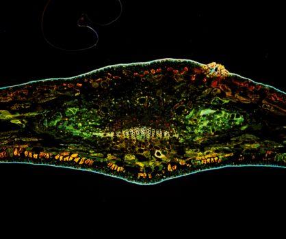 Podocarpus elatus leaf in UV fluorescence acquired by PROMICAM 3-5CP+