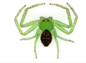 Green spider illuminated by SUNFLOWER illuminator