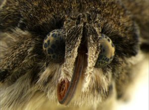 Head of an owlet moth illuminated by SUNFLOWER illuminator